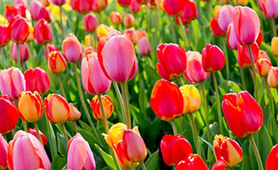 Миллионы, миллионы, миллионы… тюльпанов!